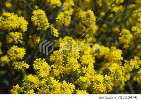 ゴールデンクラッカー(Golden Cracker)の黄色い花が咲いています。 78530440