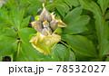 牡丹の花の種アップ写真 78532027
