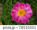 芍薬の花アップ写真 78532031