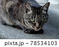 キリッとこちらを見ている猫 78534103