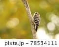 次に飛んでいく枝を探してキョロキョロするコゲラ 78534111