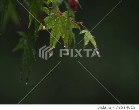 雨に濡れるもみじ『和風イメージ』(京都) 78534615