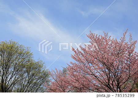 【北海道中富良野】桜と新緑と青空 5月 78535299