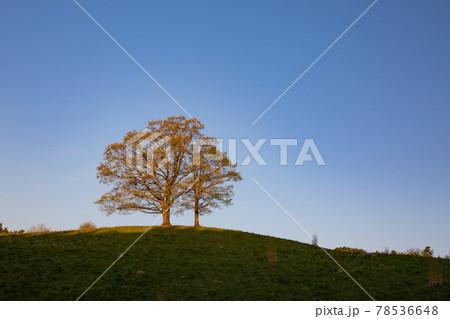 朝日に照らされた丘の上に立つ寄り添う木 78536648