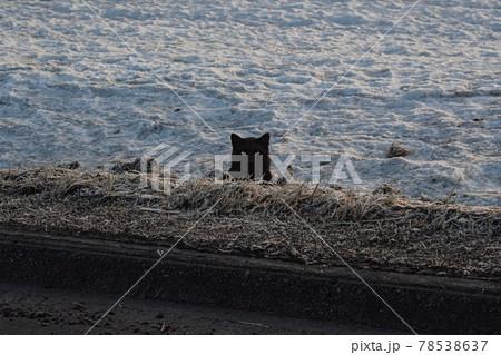 【北海道美瑛町】丘に現れたクロネコ 3月 78538637