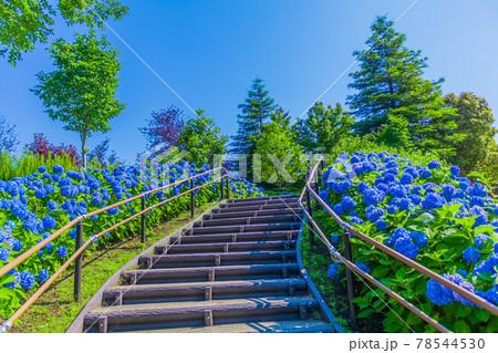 【季節の風景】東京台場シンボルプロムナード公園のアジサイ 78544530