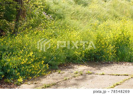 野生の菜の花が太陽に照らされている様子 78548269