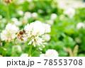 クローバーの花にとまる蜜蜂のアップ 78553708