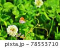 クローバーの花から飛び立ったベニシジミ蝶 78553710