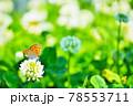クローバーの花畑で蜜を飲むベオレンジ色のベニシジミ蝶 78553711
