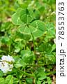 シロツメクサの花と珍しい五つ葉のクローバーのアップ 78553763