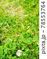 自生している珍しい五つ葉のクローバー 78553764
