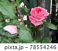はな阿蘇美 春のバラ開花 ラ・ローズドモリナール 熊本県阿蘇市小里 78554246