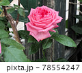 はな阿蘇美 春のバラ開花 ラ・ローズドモリナール 熊本県阿蘇市小里 78554247