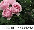 はな阿蘇美 春のバラ開花 アントニオ ガウディ 熊本県阿蘇市小里 78554248