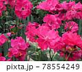 はな阿蘇美 春のバラ開花 パーマネント ウェーブ 熊本県阿蘇市小里 78554249
