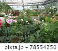 はな阿蘇美 春のバラ開花 咲き乱れる薔薇 熊本県阿蘇市小里 78554250