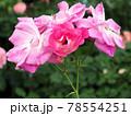 はな阿蘇美 春のバラ開花 リリアント ピンク アイスバーグ 熊本県阿蘇市小里 78554251