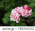 はな阿蘇美 春のバラ開花 ニュー イマジン 熊本県阿蘇市小里 78554252