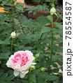 はな阿蘇美 春のバラ開花 ホリデー アイランド ピオニー 熊本県阿蘇市小里 78554587