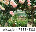 はな阿蘇美 春のバラ開花 ピエール ドゥ ロンサールと咲き乱れる薔薇 熊本県阿蘇市小里 78554588