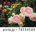 はな阿蘇美 春のバラ開花 ピエール ドゥ ロンサールと咲き乱れる薔薇 熊本県阿蘇市小里 78554589