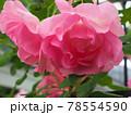 はな阿蘇美 春のバラ開花 ジェネラジオン ジャルダン 熊本県阿蘇市小里 78554590