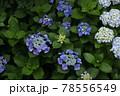 咲き乱れ 78556549