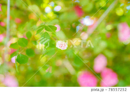 光に包まれたバラ園で見つけた小さな蕾 78557252
