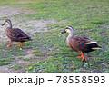 陸を歩く2羽の可愛いカルガモ 78558593
