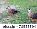 陸を歩く2羽の可愛いカルガモ 78558594