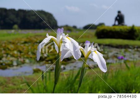 ロマンチック茨城(日本画の小川芋銭は牛久沼のほとりに「河童」と暮らしていたのでしょう。)牛久アヤメ園 78564430