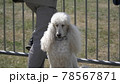 Sitting in the street of the royal poodle with white fur 78567871