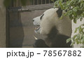 Panda eat juicy bamboo branches for lunch 78567882