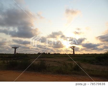 【マダガスカル】バオバブ街道から見た夕日と大きな二本のバオバブの木(モロンダバ) 78570636