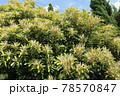 マテバシイの花 78570847