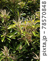 マテバシイの花 78570848