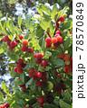 ヤマモモの果実 78570849