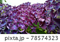 紫色の紫陽花アップ写真 78574323