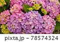 画面いっぱいのピンク色の紫陽花写真 78574324