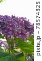 縦画面の紫色の紫陽花写真 78574325