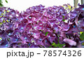 紫色の紫陽花の写真 78574326