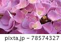 ピンク色の紫陽花アップ写真 78574327