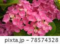ピンク色の紫陽花の写真 78574328