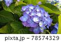 青色の紫陽花の写真 78574329