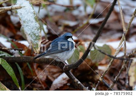 雪の残る森に飛来し枝にとまるコルリ 78575902