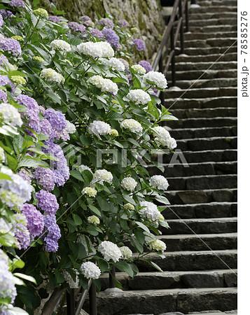 長谷寺の本堂に上る階段沿いの紫陽花 78585276