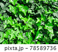 深緑色のアイビーの葉が一面に茂る壁 78589736