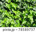 緑色のアイビーの葉が一面に茂る壁 78589737