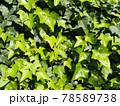黄緑色のアイビーの葉が一面に茂る壁 78589738